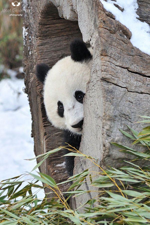 hello humans ;-)))))) #panda #cub