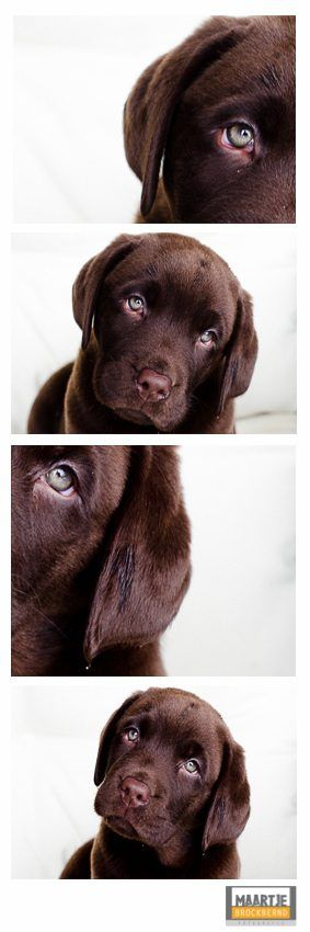 Aww.....cutest chocolate labrador retriever puppy ever! Bruno is gorgeous! {Pet Photography} {Lab} {Dog} {Puppies} {Photo Session Ideas} {Pet Portraits}