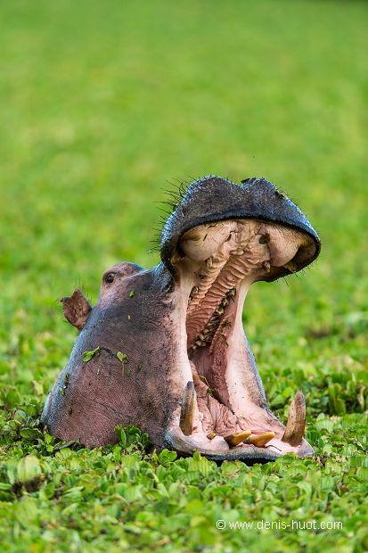 La Galerie - Christine et MichelDenis Huotphotographes animaliers - - Hippopotame - 76900