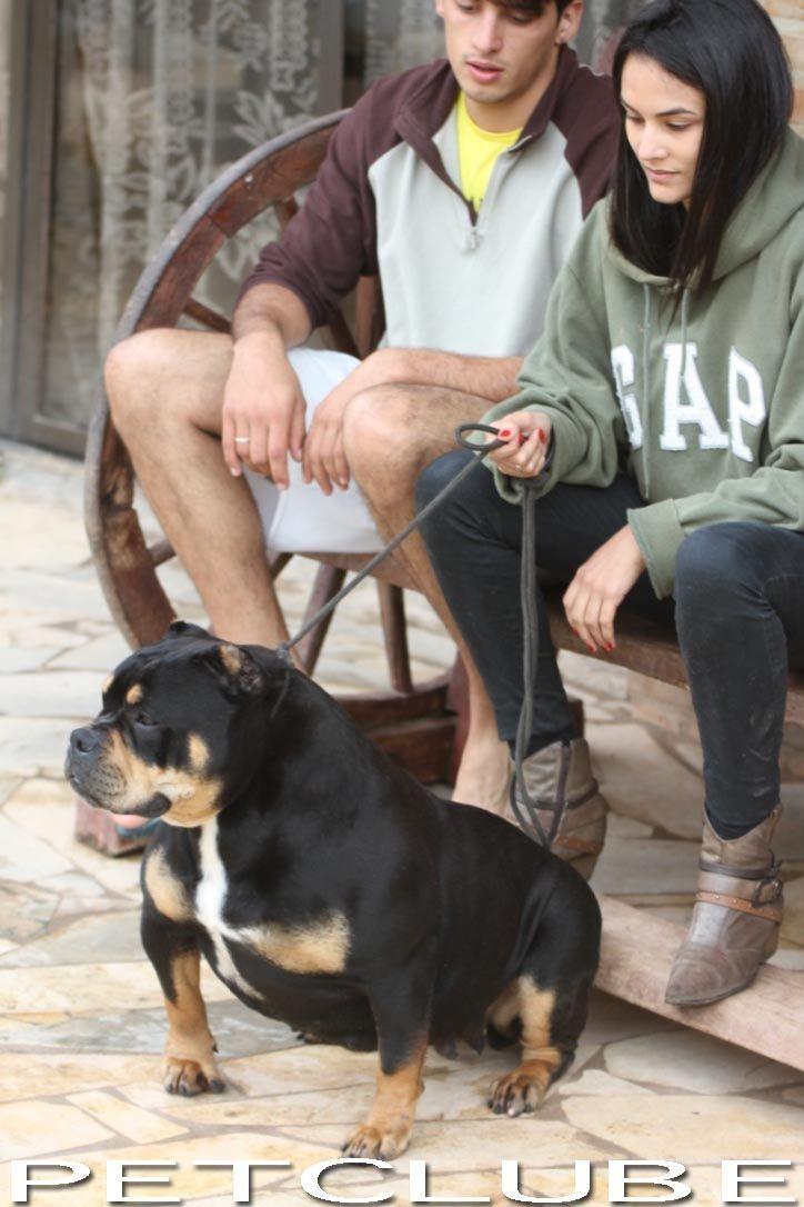 Petclube Filhotes Cães Bully Gatos Gigantes Criadores Ecologicamente Corretos - OVERBULLY SUPER AMERICAN BULLY