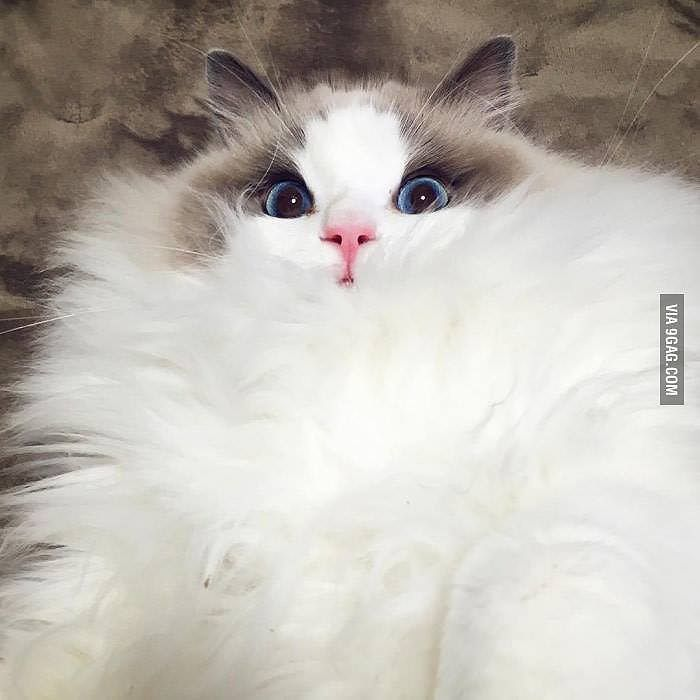 Maximum fluffiness has been achieved!  #9GAG #Sofluffy  @9GAGmobile by 9gag