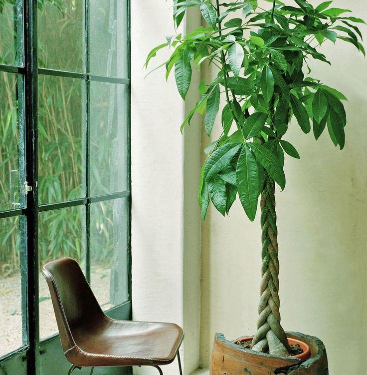 Grünpflanzen Green Plants Zimmerpflanzen: Zimmerpflanze? Zimmerbaum!