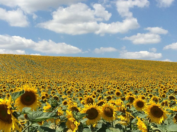 Sunflower field in Hungary