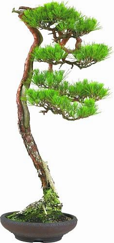~Japanese Red Pine Bonsai Tree  赤松の文人木 | House of Beccaria