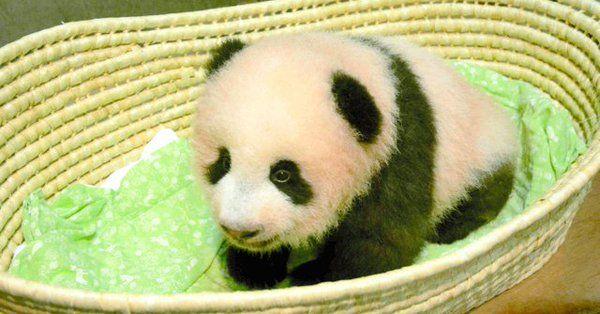 上野動物園赤ちゃんパンダの名前「シャンシャン(香香)」に決定