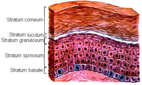 layers of the epidermis | Stratum Layers of the Skin remember that the innermost layer called stratum germinativum= stratum basale and stratum spinosum