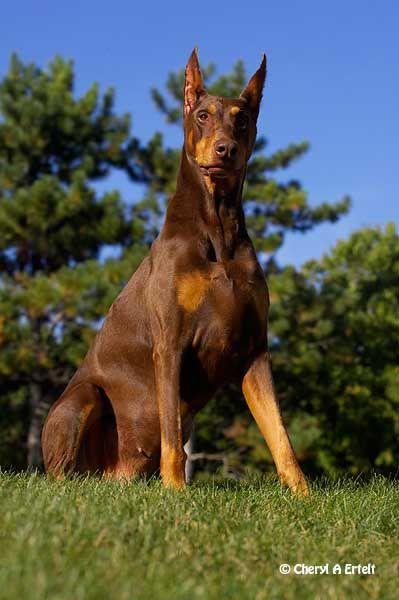 Warlock Doberman Pinscher | Doberman Pinscher Dobermann Pinscher Dobe Warlock Doberman | Dog ...