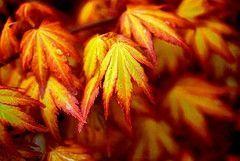 Acer palmatum Orange Dream 3 - Year Graft