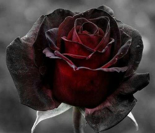 7 most beautiful black roses flowers flowers rose - Emo rose pictures ...