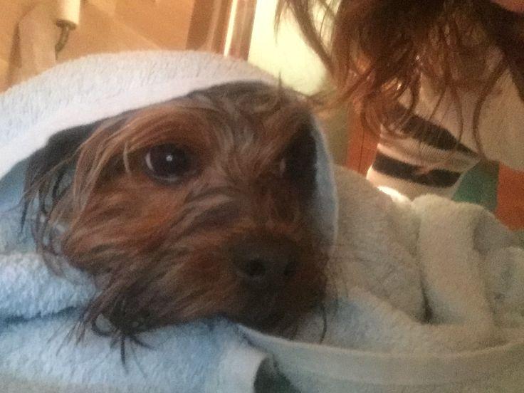 Una ducha y a la cama! #Nano #mascota #yorkshire