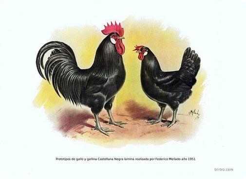 Prototipo gallo y gallina Castellana negra, lamina realizada por Federico Mellado año 1951