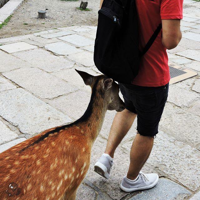 Daj, daj jeść !!!  Gimmie, gimmie some food!  食べたい!!!  #奈良 #日本 #japan #japonia #japon #nippon #deers #sarny #jelonki