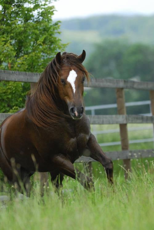 Spirited bay horse...