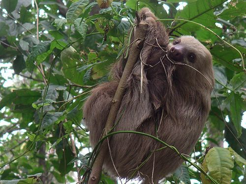 sloth in cahuita national park | Flickr - Photo Sharing!