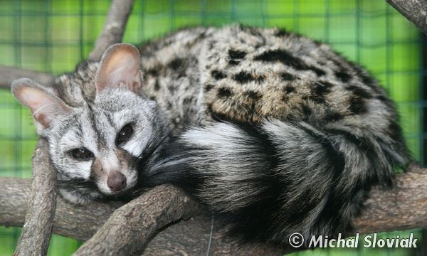 (Small-spotted Genet)