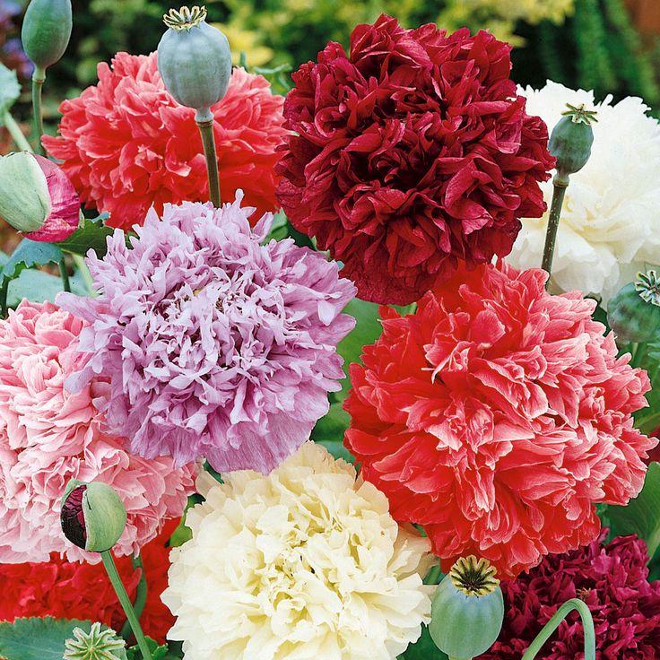 Pionvallmo | Ettåriga blomsterväxter | Papaver somniferum |
