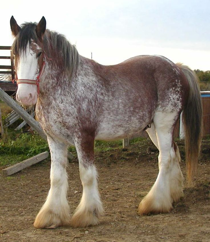 Beautiful Black Clydesdale Gelding for Sale - Here is some information on a nice Clydesdale horse for sale in Michigan. Description from pinterest.com. I searched for this on bing.com/images