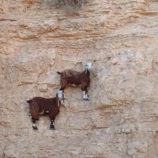 Líneas imaginarias como cabras. Ligereza, equilibrio, flotante... Se dibujan las lineas imaginarias con las patas de las cabras.