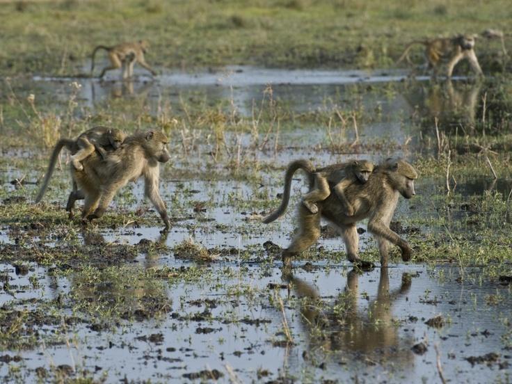 #botswana #okavango #baboons