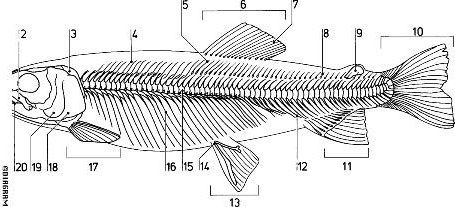 trout skeleton labeled