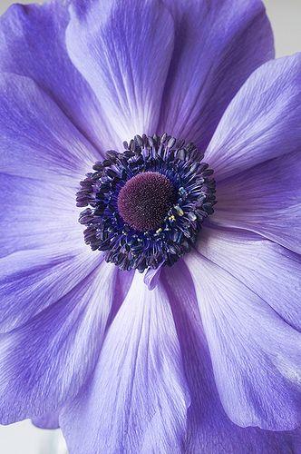 Anemone | by cbfarrell2003