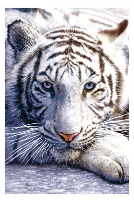 zlatá mramorovaná fotografie Bengálský tygřík: bílý tygr WhiteTiger.jpg