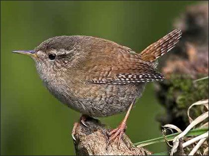 beautiful little Jenny Wren - one of the most common but rarely seen birds in the UK