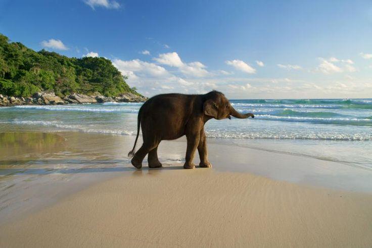 Le Meridien Phuket Beach Resort - resident baby elephant