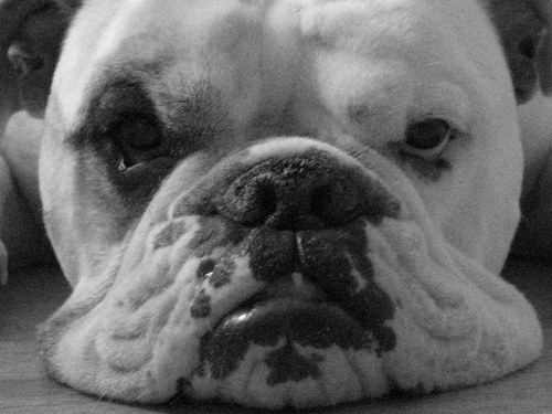 Is The Olde English Bulldogge The Right Dog Breed For You?