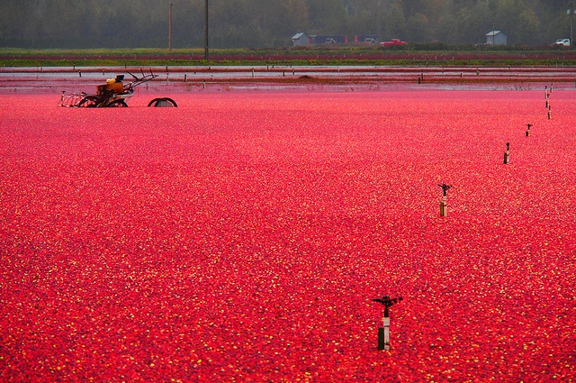 Cranberry harvest, Richmond, BC - Canada, reminds me of Nantucket,  Massachusetts.  CH.