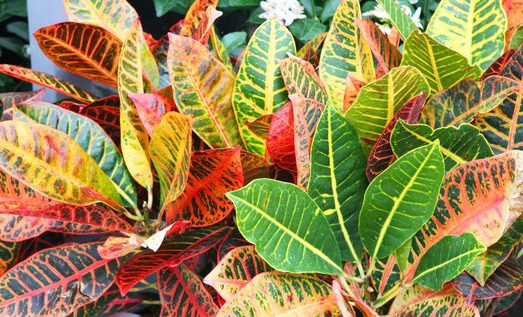 Tropical plant croton tropical plants pinterest for Croton plant