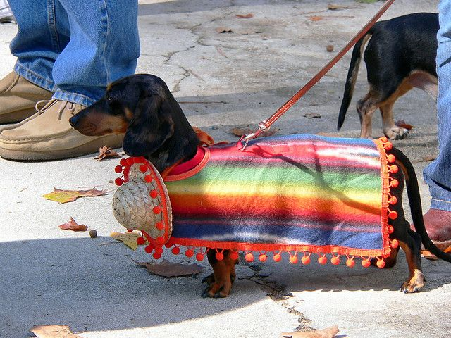 A dachshund wearing a Mexican costume -- taken at the Halloweenie festival in Decatur, Georgia