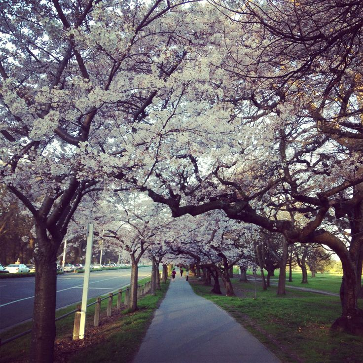 Spring Blossoms, Hagley Park, Christchurch, New Zealand.