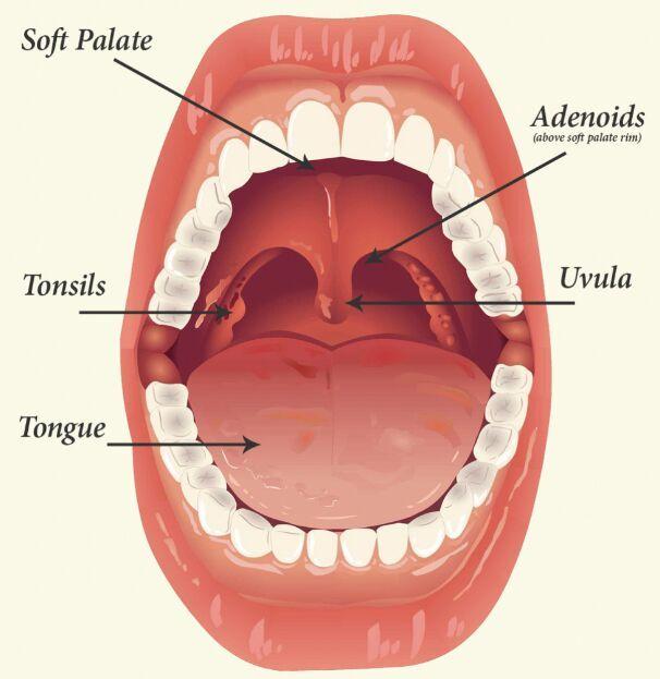 Tonsil and soft palate location - www.anatomynote.com | Anatomy note ...