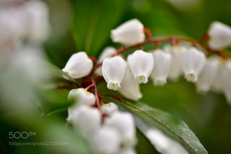 Caterpillar tree 馬酔木 - 馬酔木あせびI write a Japanese horse as a horse drunk. It is toxic as the name suggests when a horse eats a leaf it will wander as if he is drunk. Because flowers are innocent and beautiful taking natural light.