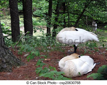 A male and female swan take an afternoon nap.