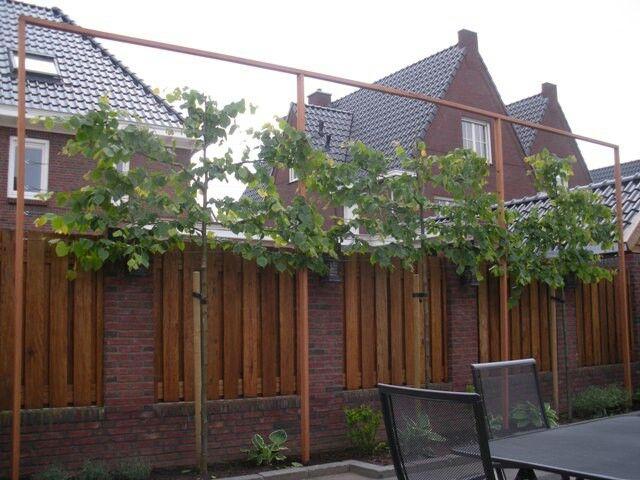 Leilinden aan achterkant tuin.