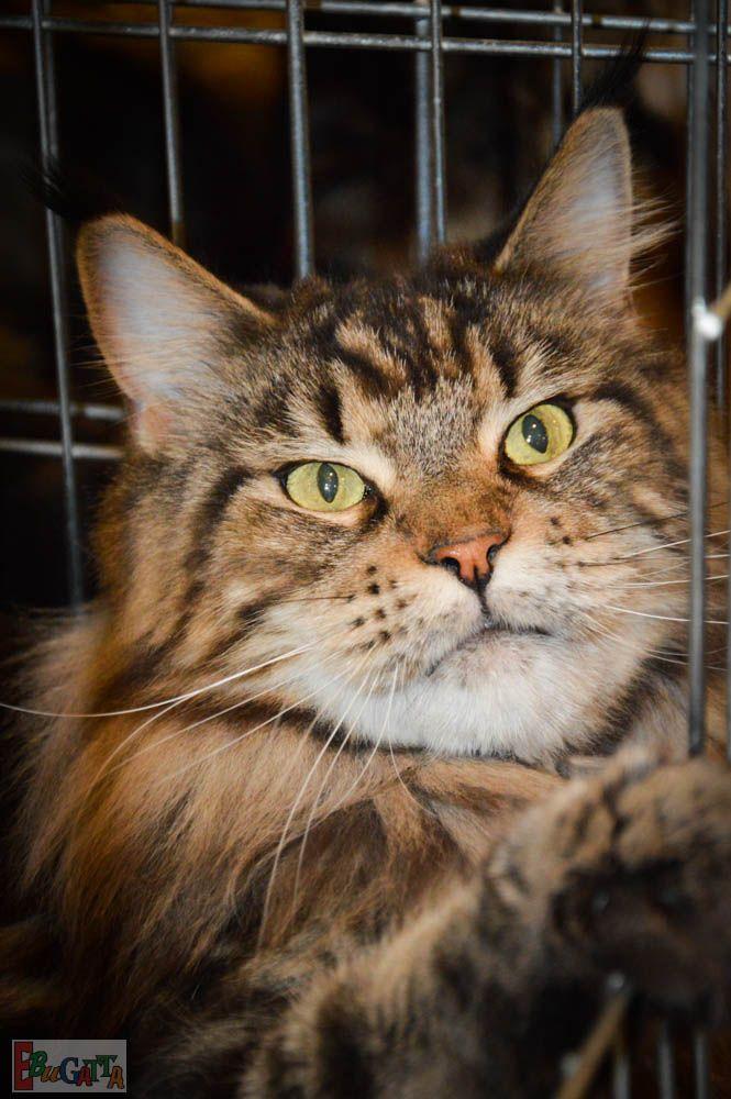 Csodaszép cicák a macskakiállításon! Filmes, képes beszámoló! 2015. 02. 07. Kattints a linkre! http://ebugatta.tv/hu/filmek/csodaszep-cicak-a-macskakiallitason-filmes-kepes-beszamolo-2015-02-07-