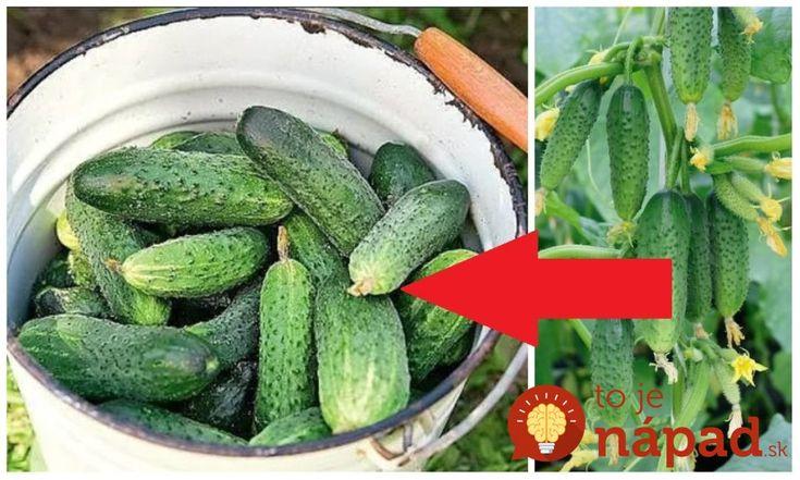 Rada pre všetkých, ktorí sa chystajú pestovať uhorky: Pri vysievaní sa držte tohto jednoduchého pravidla a nebudete vedieť, čo s toľkou úrodou!