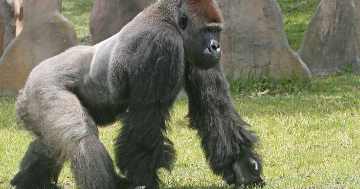 Why Cincinnati Zoo Was Right To Kill Harambe, According To Gorilla Attack Survivor - http://www.australianetworknews.com/why-cincinnati-zoo-was-right-to-kill-harambe-according-to-gorilla-attack-survivor/