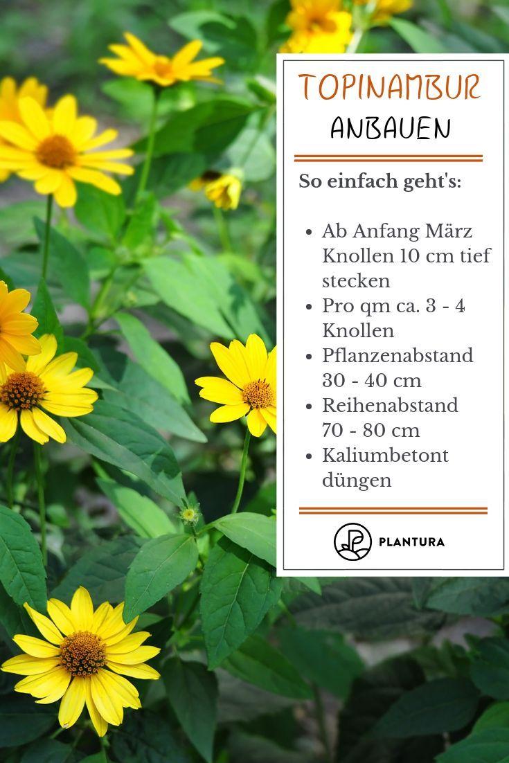 Topinambur Wunderknolle Und Blutenpracht Im Garten Blutenpracht Garten Im Topinambur U Herbal Plants Backyard Vegetable Gardens Vegetable Garden Design