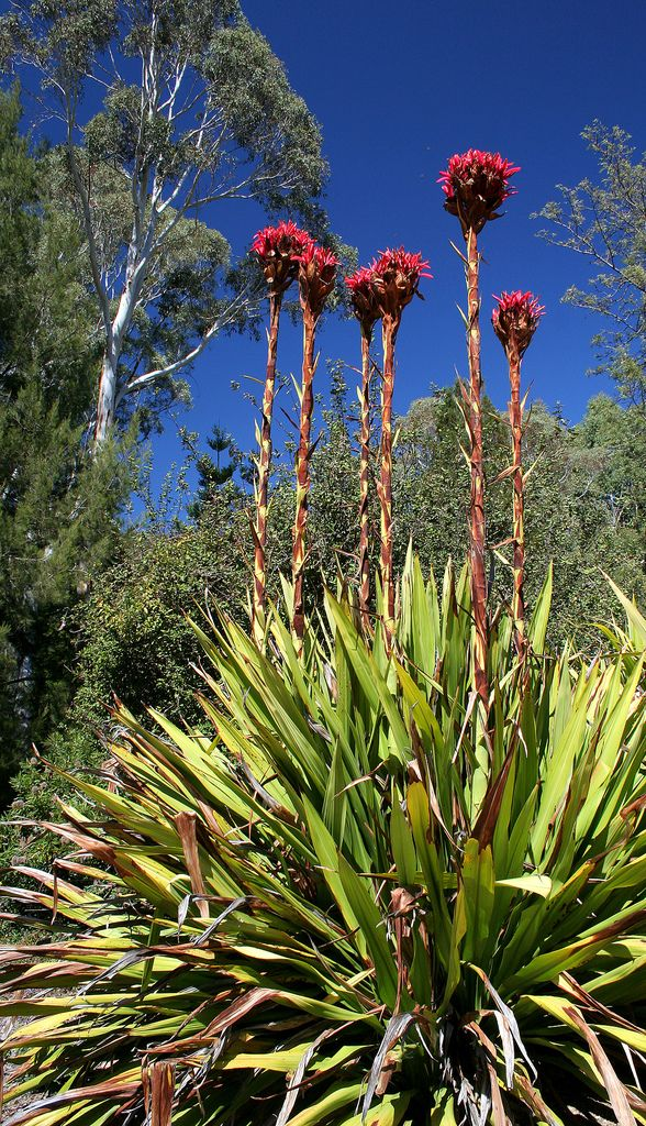 Gymea Lilly, huge plant but so stunning when they flower. Takes around 6-8 months to grow the spike and flower.