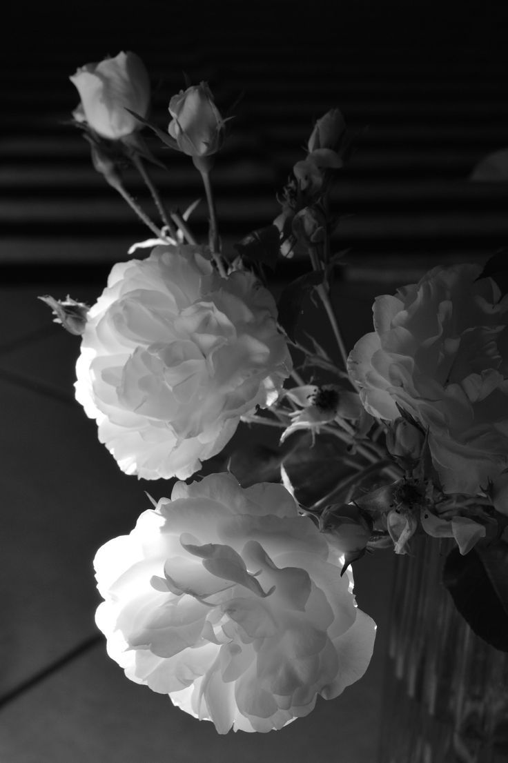https://flic.kr/p/tLASJx | rose bianche e raggio di sole
