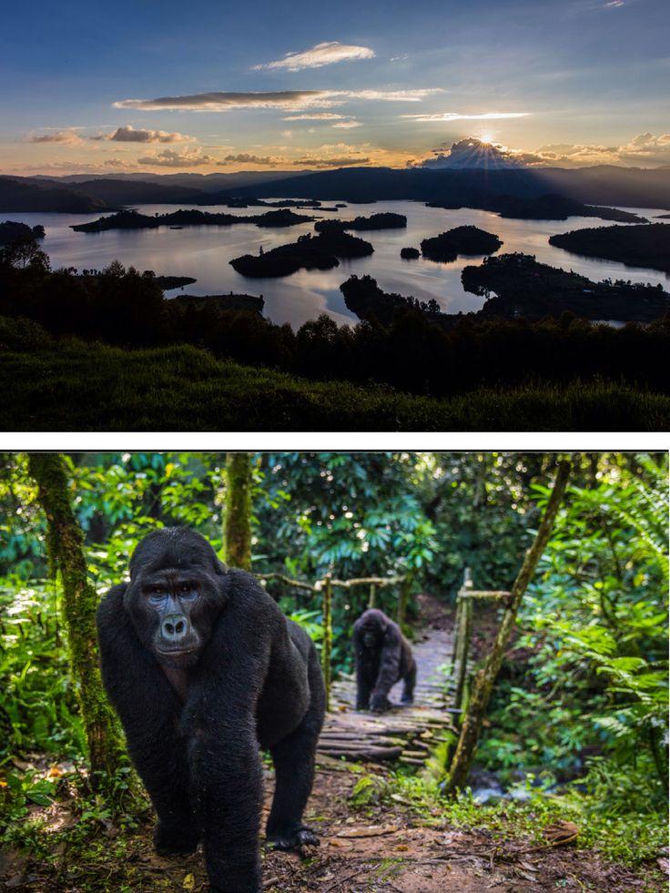 Gorilla in Uganda, photo credit Marcus Westberg