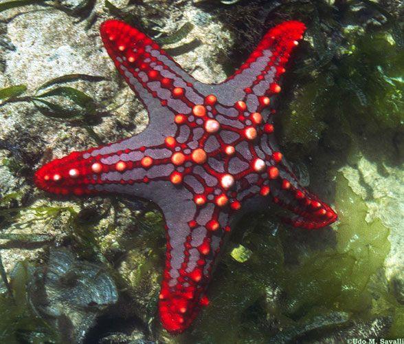 sunflower starfish images | African Red Knob Sea Star, Protoreaster linckii , Kenya