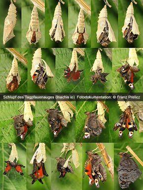 Zucht von Schmetterlingen » Schmetterlinge züchten mit Schülern