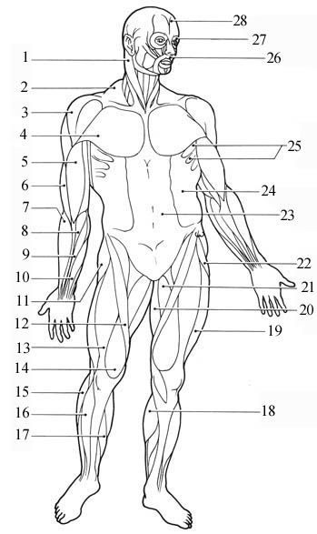 muscular body diagram blank