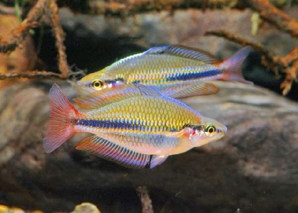 Melanotaenia trifasciata (Mary River, NT): An oldy but a goody in the fish hobby!