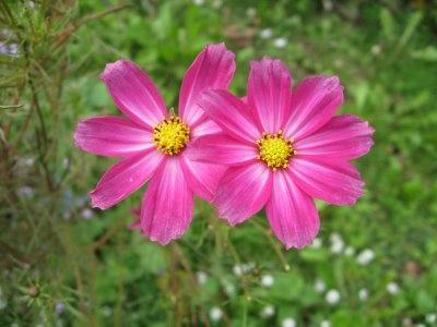Aster pink