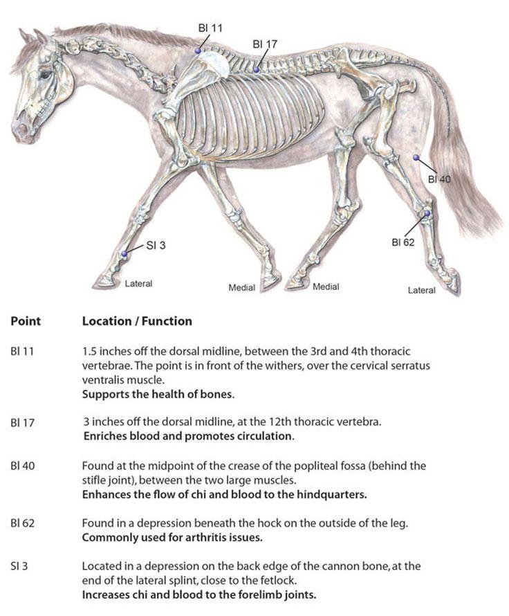 126 Best Equine Accupressure Images On Pinterest Acupuncture
